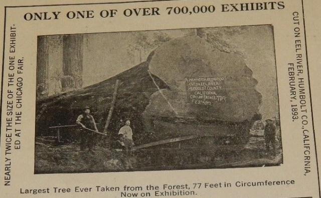 Largest redwood 1893