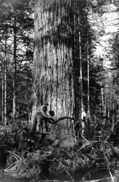 Logging giant tree vancouver 1900s - City of Vancouver Archives.